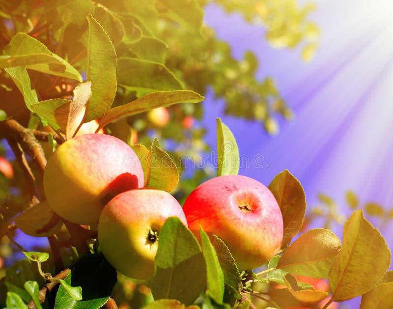 Rode appelen en bladeren op blauwe hemel royalty-vrije stock fotografie