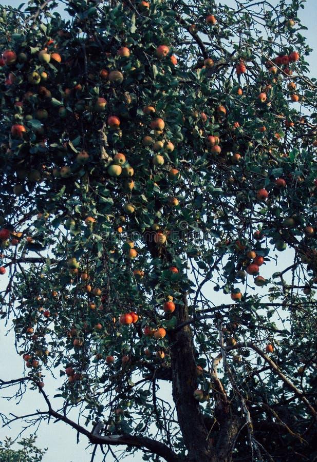 Rode appelen en groenachtig blauwe bladeren op boomtak Rode appelboom op blauwe achtergrond Landbouwaard bloemen stock foto