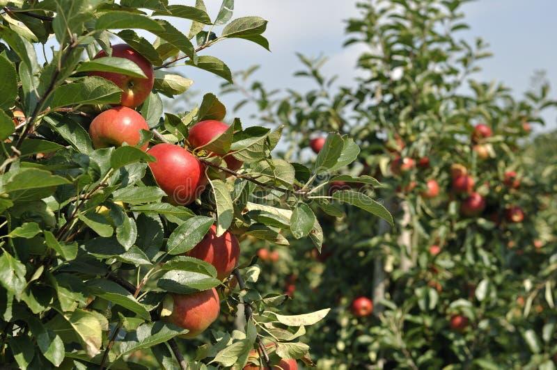 Rode appelen op appelboom stock foto's