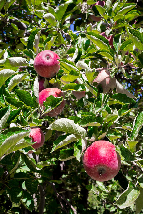 Rode appelen op boom stock afbeelding