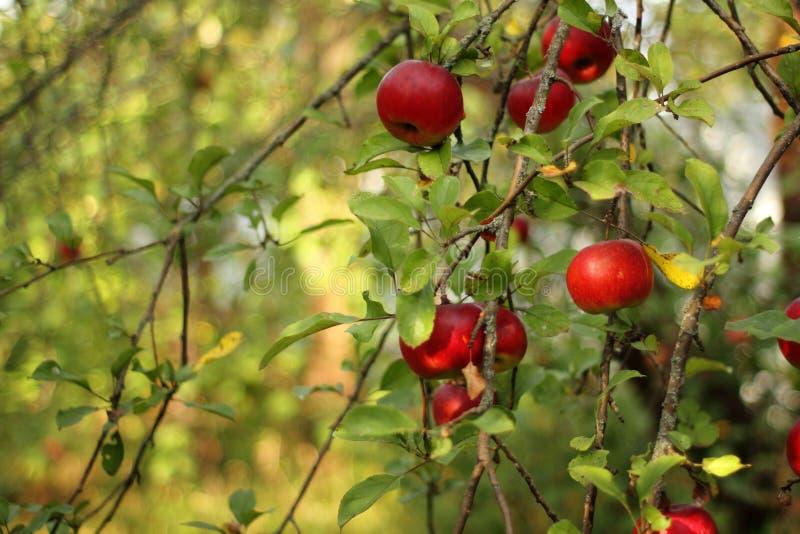 Rode appelen op boom in boomgaard met sunlights koninklijk feest, fuji, roze dame stock fotografie