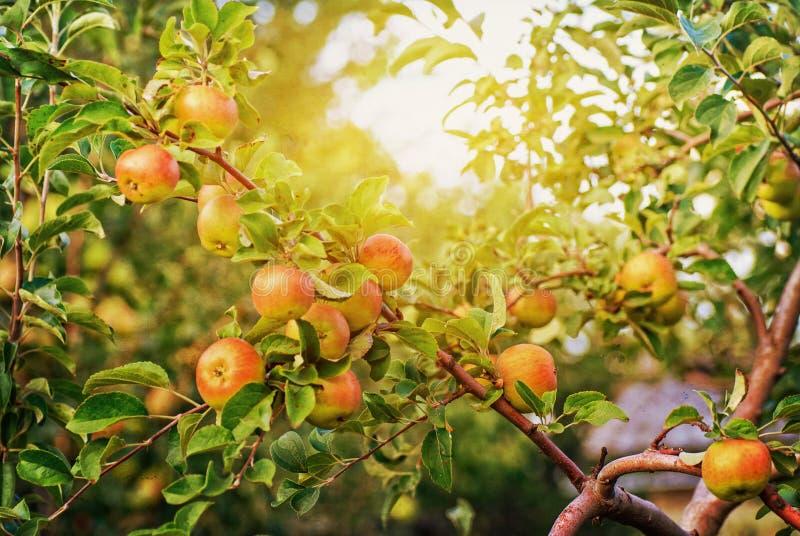 Rode appelen op de tak van de appelboom royalty-vrije stock afbeelding