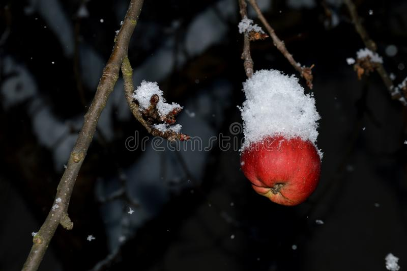 Rode appelen op een boom met sneeuw royalty-vrije stock afbeelding
