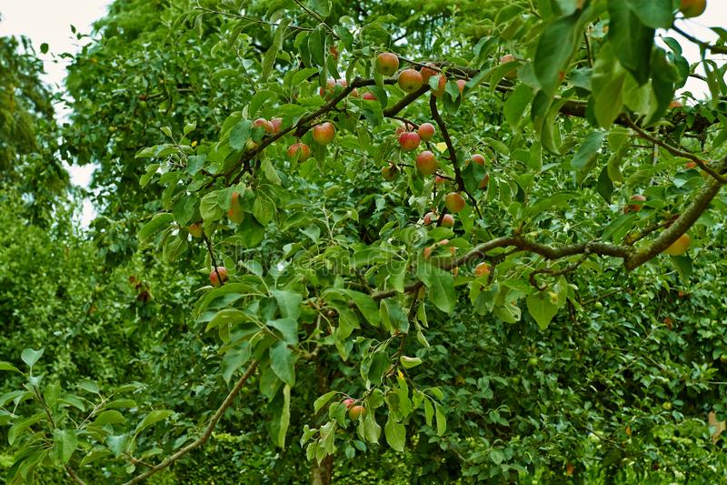 Rode appelen op een tak van een appelboom Nederland, Juli stock foto