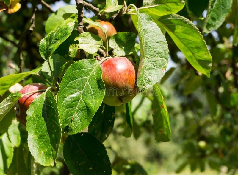Rode appelen op een tak van appelboom op een zonnige dag Organisch ver stock fotografie