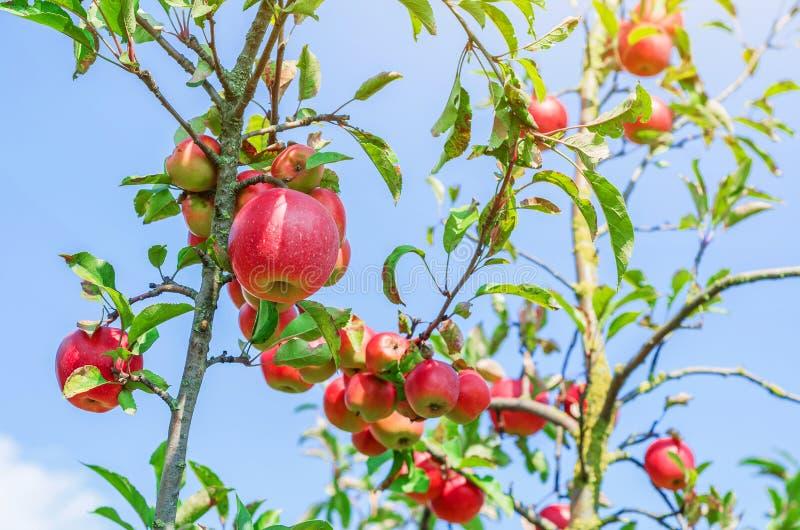 rode appelen op jonge bomen in de tuin tegen de achtergrond o royalty-vrije stock afbeeldingen