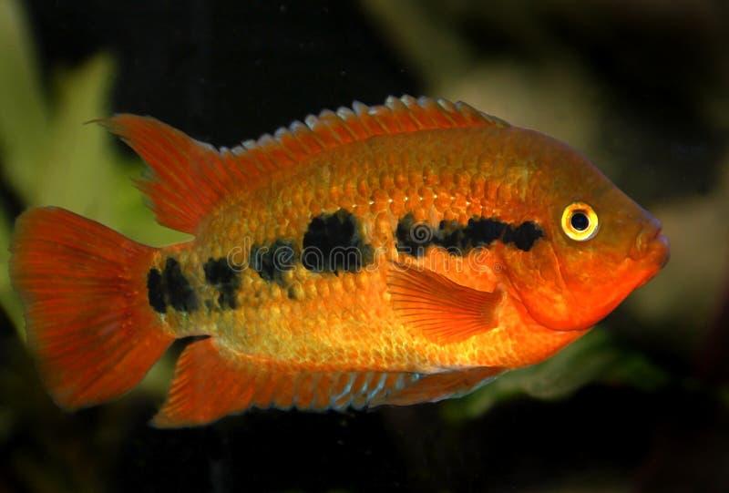 Rode aquariumvissen stock foto's