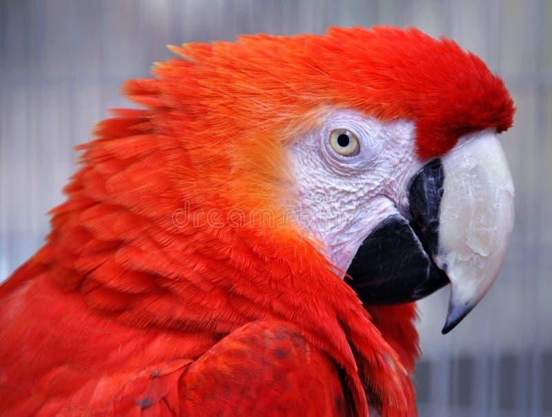 Rode ara (ararauna van Aronskelken) royalty-vrije stock afbeeldingen