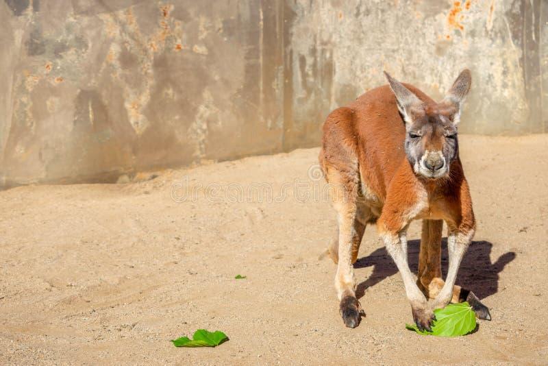 Rode Australische kangoeroe die een groen blad houden stock afbeelding