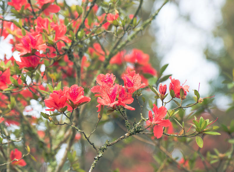 Rode azalea royalty-vrije stock foto's