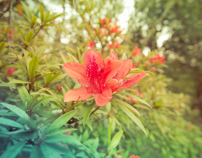 Rode azalea stock afbeelding
