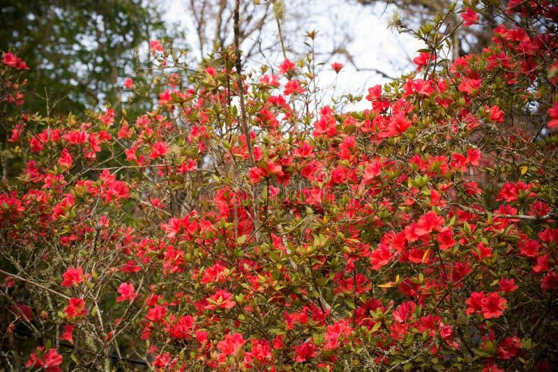 Rode azalea royalty-vrije stock afbeeldingen