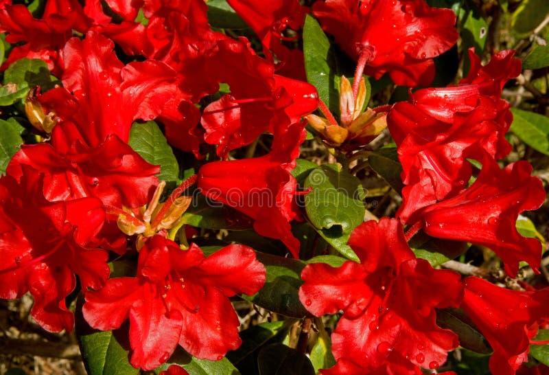 Rode Azalea in de lente. stock fotografie