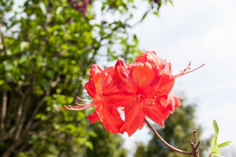 Rode azaleabloem in het volledige bloeien royalty-vrije stock foto