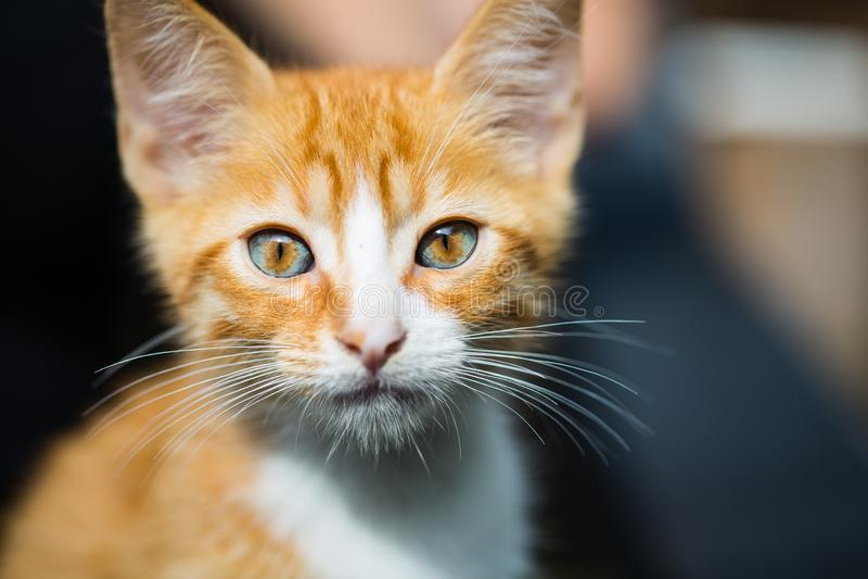 Rode babykat, babygezicht, rode kat, kattenportret royalty-vrije stock fotografie