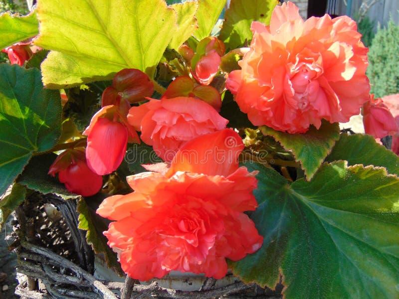 Rode begonia's in de de zomertuin royalty-vrije stock afbeeldingen