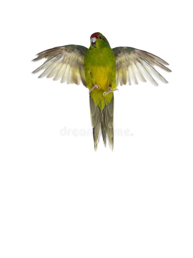 Rode bekroonde Kakariki-vogel op wit stock afbeeldingen