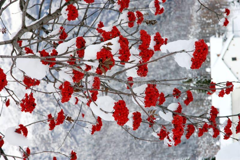Rode Bessen stock fotografie