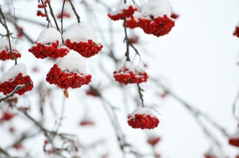 Rode bessen die met sneeuw worden behandeld Lijsterbessenbossen op sneeuwboom stock foto