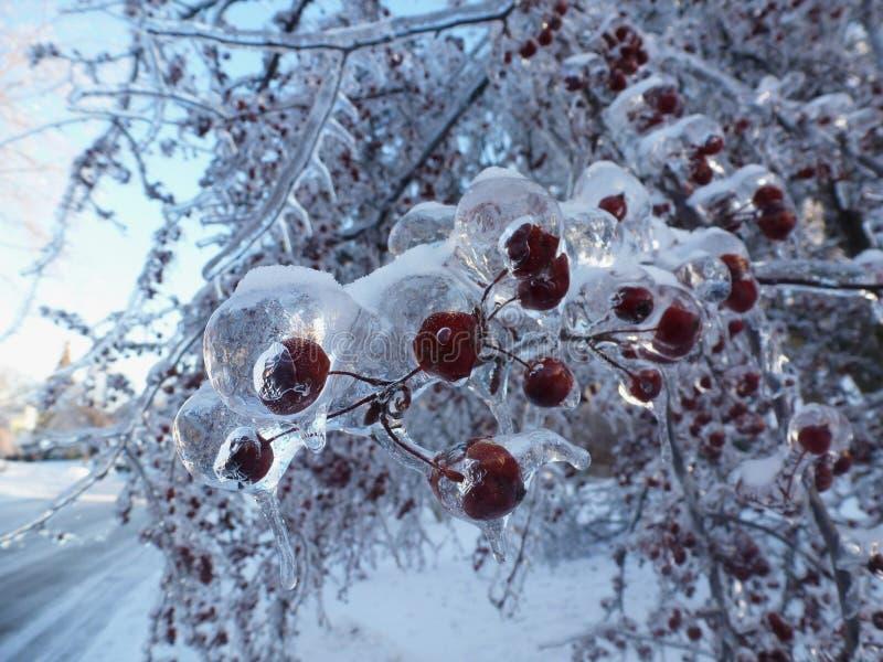 Rode bessen en en ijs behandelde takjes met sneeuwweg stock afbeeldingen
