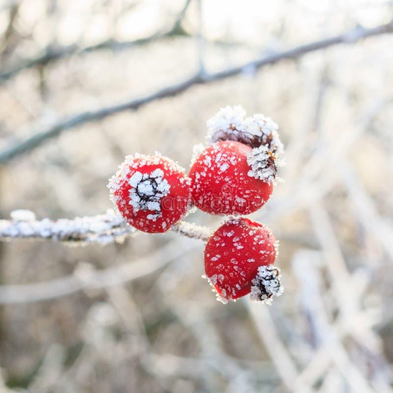 Rode bessen op de bevroren takken stock foto