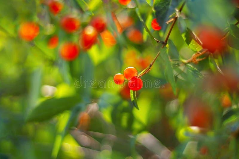 Rode bessen op de tak met groene ruimte als achtergrond en exemplaar De zomertuin met gezond voedsel royalty-vrije stock afbeeldingen
