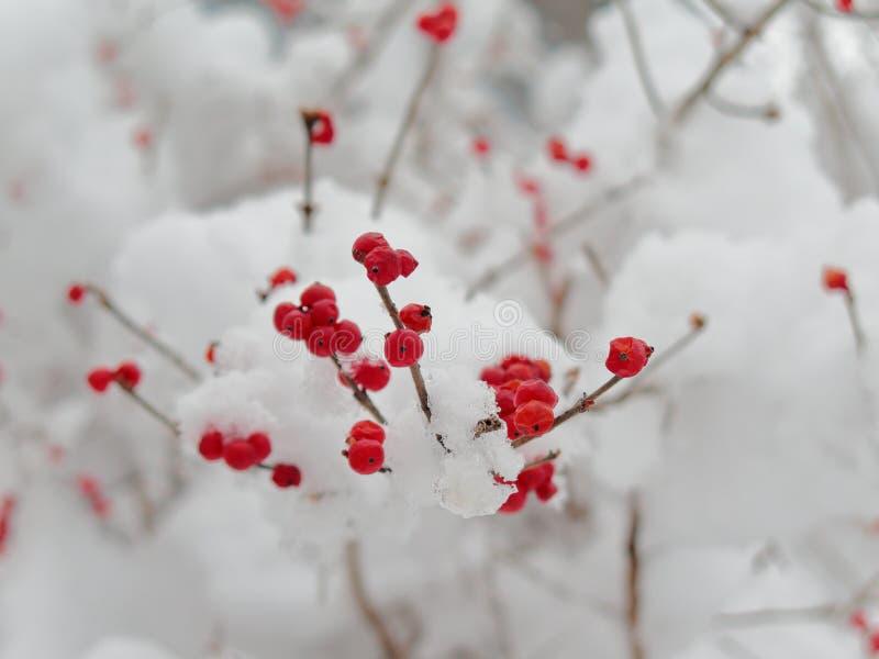 Rode bessen op een sneeuwboom, dorp van Pfunds, Tirol, Oostenrijk royalty-vrije stock foto's