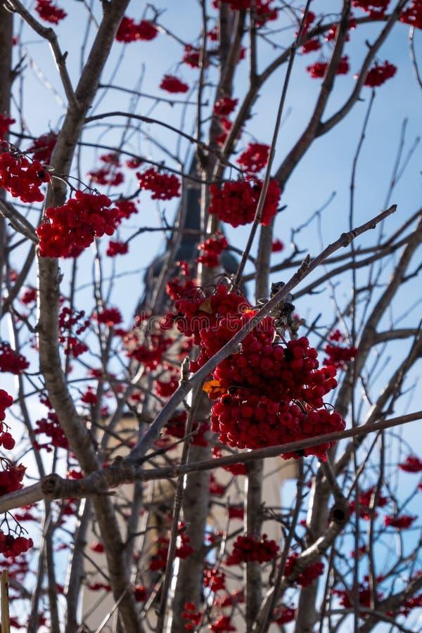 Rode bessen op sneeuwachtergrond royalty-vrije stock fotografie