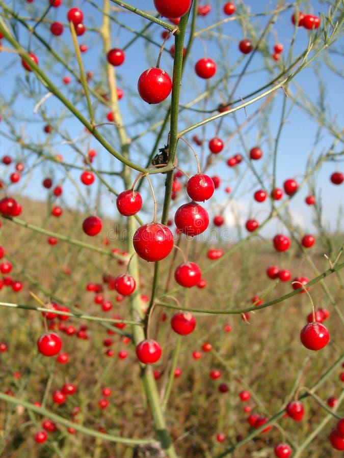 Rode bessen van een asperge stock afbeelding