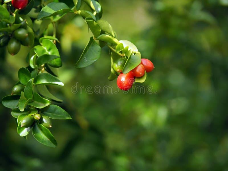 Rode bessenstruik en rode bessen met groene bladerenachtergrond in tropisch Suriname Zuid-Amerika stock afbeeldingen