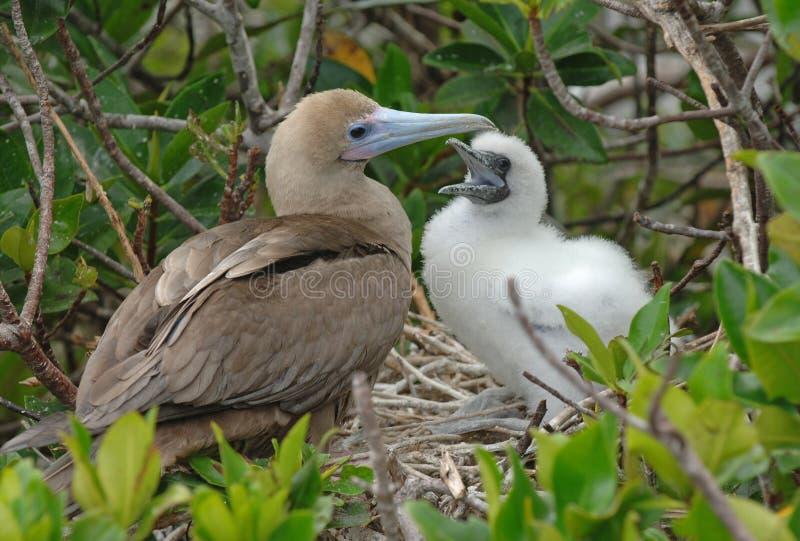 Rode Betaalde Domoor Voedende Jongelui, de Eilanden van de Galapagos stock fotografie