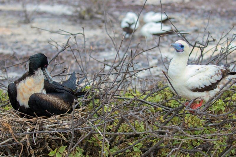 Rode Betaalde Domoorvogel op de Eilanden van de Galapagos stock afbeelding