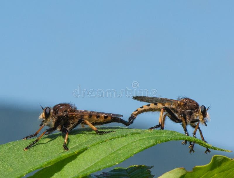 Rode Betaalde Kannibaalvliegen stock fotografie