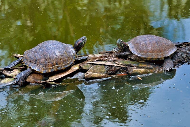 Rode betaalde schildpad royalty-vrije stock afbeelding