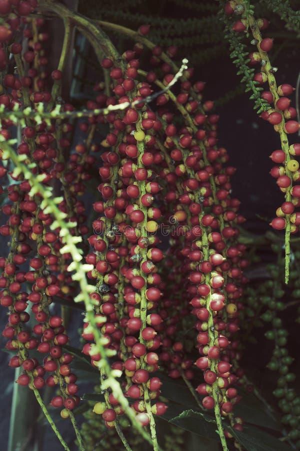 Rode betelpalm stock foto's