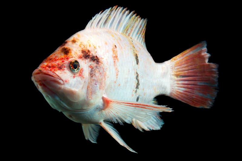 Rode Bevlekte Tilapia Vissen stock foto