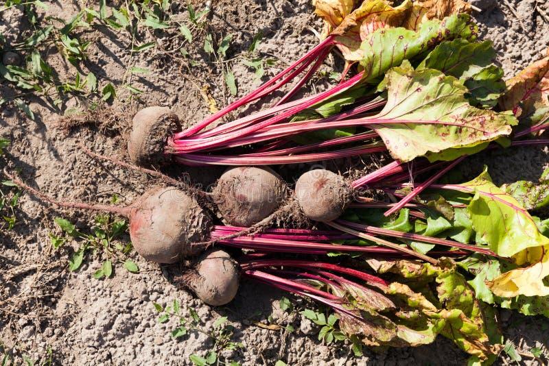 Rode biet op aarde, landbouw donkere bieten Vers dieetvoedsel stock foto