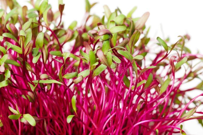 Rode bieten, verse spruiten en jonge bladeren royalty-vrije stock foto's