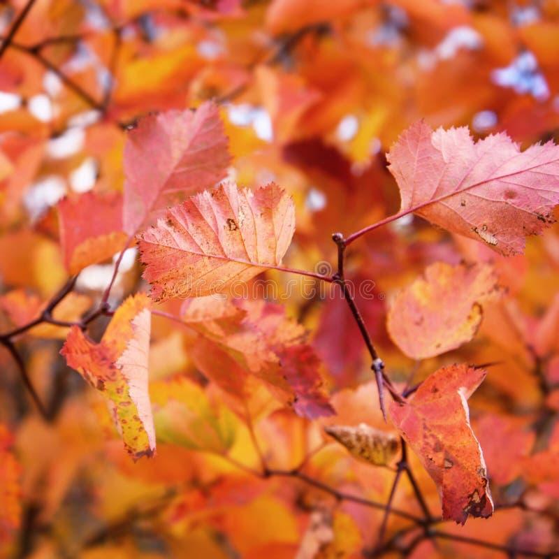 Rode Bladeren als Autumn Natural Background stock fotografie
