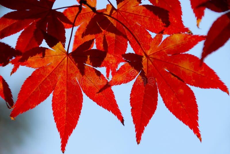 Rode bladeren in het zonlicht royalty-vrije stock foto
