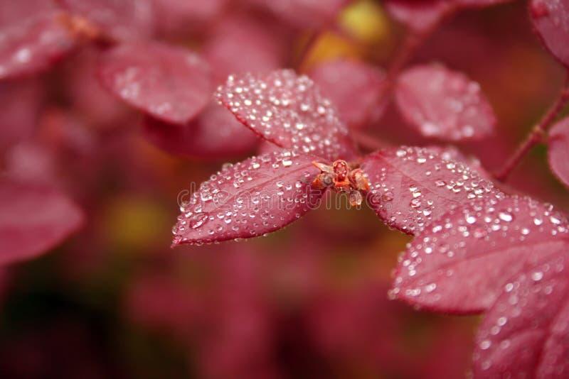 Rode Bladeren met de Druppeltjes van het Water royalty-vrije stock foto