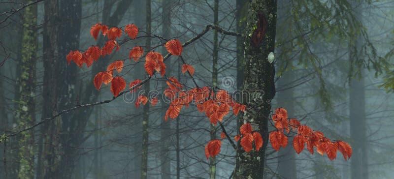 Rode bladeren met wintertalingsmist in mistig bos royalty-vrije stock fotografie