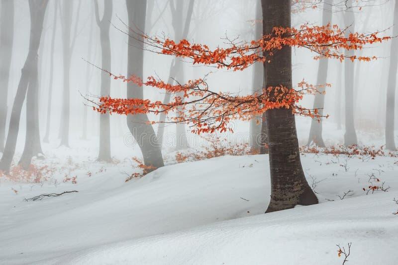 Rode bladerenboom in de winter mistig bossneeuw behandeld hout stock foto
