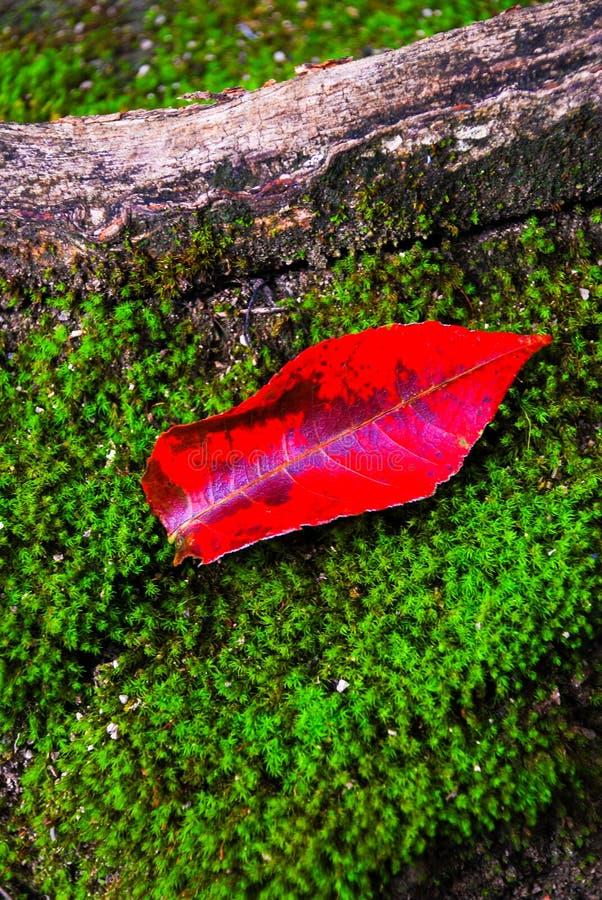 Rode bladerendaling op varens in het bos in Kanchanaburi stock afbeeldingen
