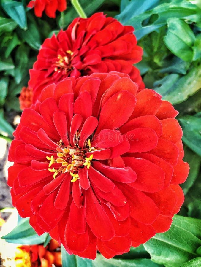 Rode Bloei royalty-vrije stock afbeeldingen