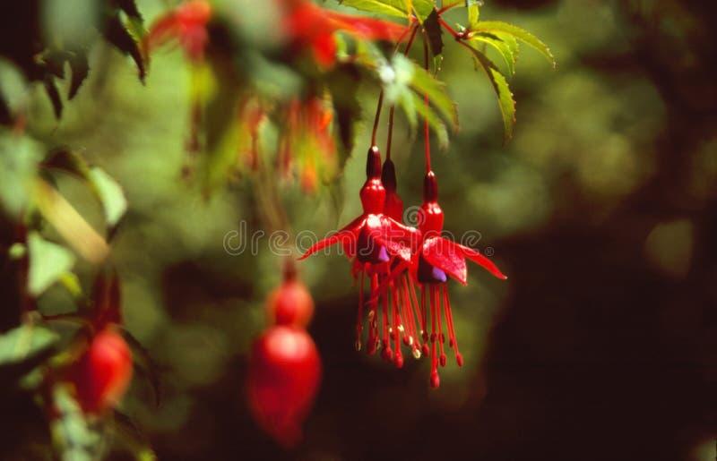 Rode bloei van fuchsia stock foto's