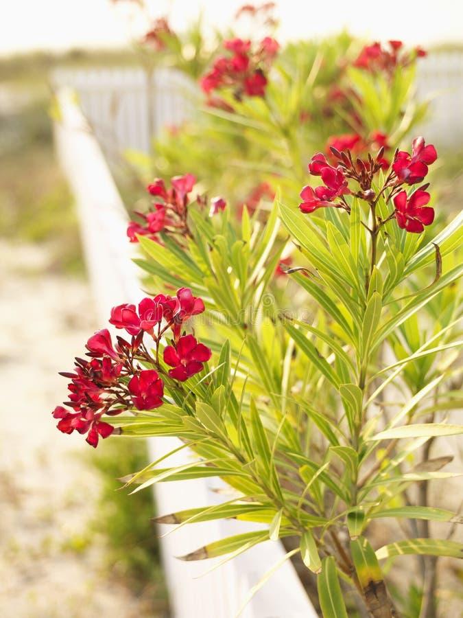 Rode Bloeiende Oleanderstruik. Royalty-vrije Stock Afbeelding