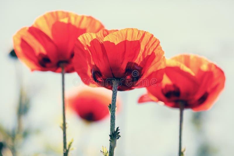Rode bloeiende papavers stock afbeelding