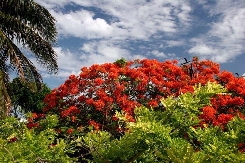 Rode bloeiende struik stock foto's