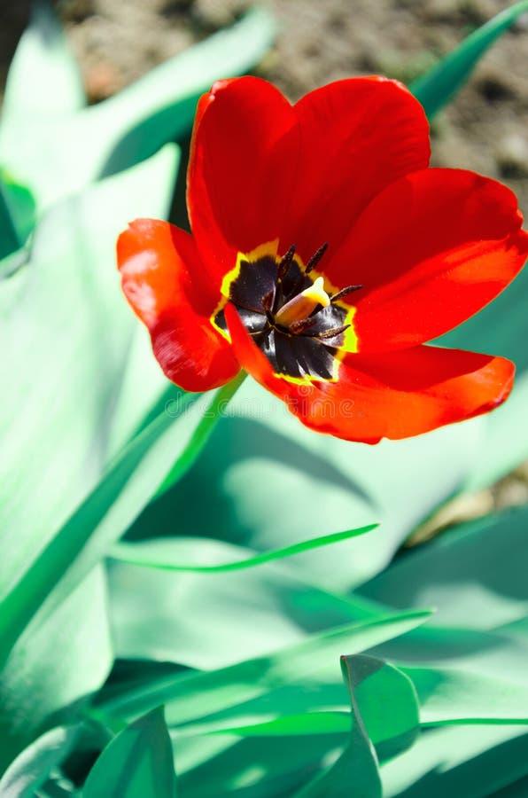 Rode bloeiende tulp in de werf stock afbeeldingen